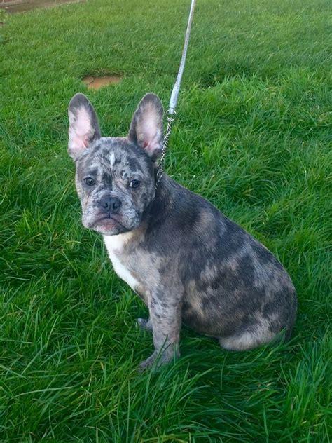 blue merle bulldog puppy blue merle bulldog boy dewsbury west pets4homes