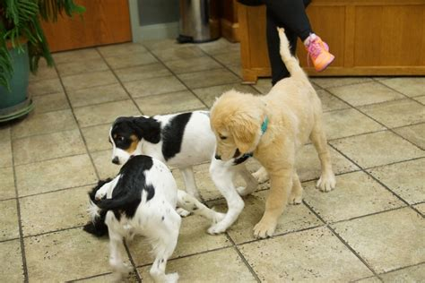 puppy socialization classes east valley animal clinic puppy socialization class