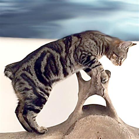 desert lynx kittens  sale big spots cattery