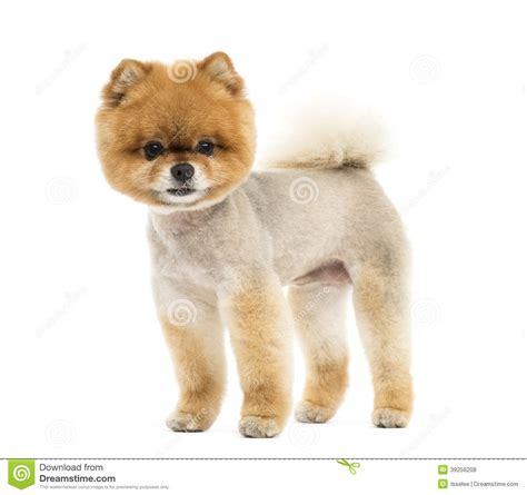 standing pomeranian groomed pomeranian standing and looking at the stock photo image 39256208