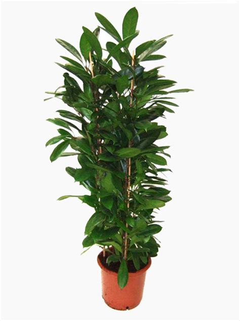 indoor plants uk indoor ficus plants for sale online uk