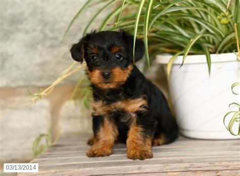yorkie poo puppies cincinnati yorkiepoo puppy for sale yorkie poo breeds and animal