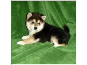 shiba inu puppies for sale in florida shiba inu puppies for sale