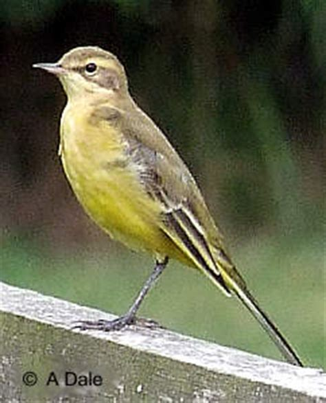 pale yellow chest with bird pictures to pin on pinterest