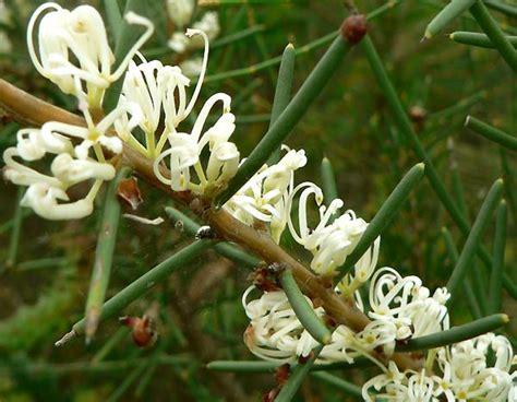 fiore perdono il fiore australiano dagger hakea e il processo
