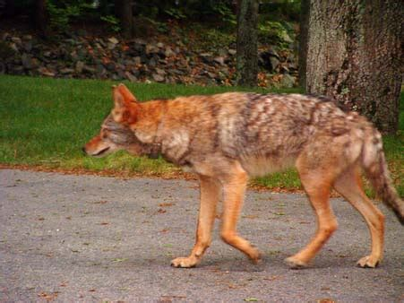 are coyotes color blind wolf at the park
