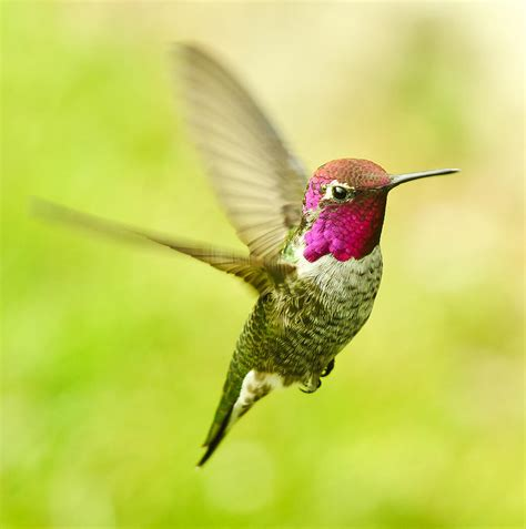anna s hummingbird photograph by edmund wu