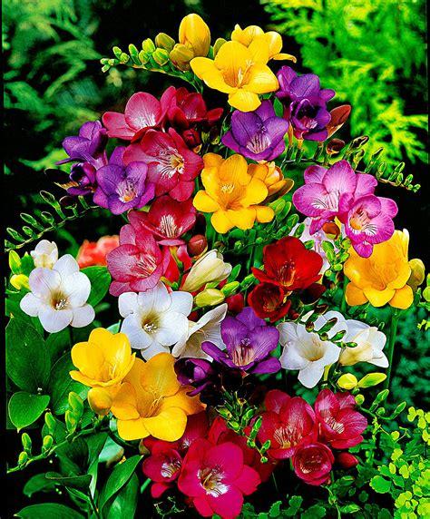 fresie fiori acquista fresie bakker