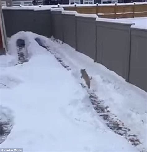 backyard obstacle course for dogs usa dog runs through obstacle course made of snow in canada newsgrio
