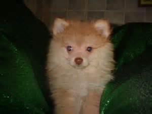 pomeranian puppies birmingham al pomeranian puppies in alabama