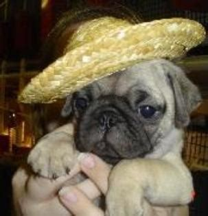 pugs for sale ireland well trained pug puppies for sale ballina ireland free classifieds muamat