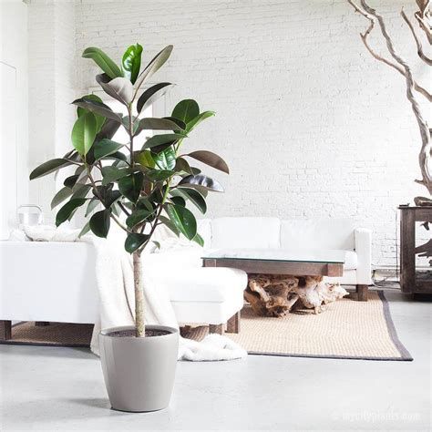 inside home plants rubber plant indoor house plants air purifying plant