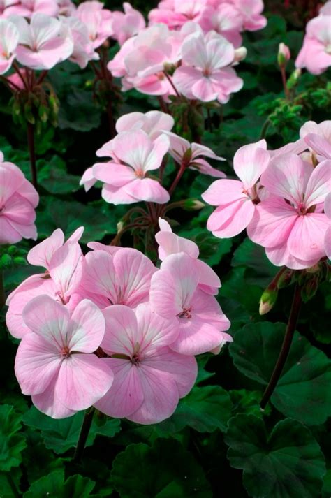253 Best Geraniums And Pelargoniums Images On Pinterest Pink Garden Flowers