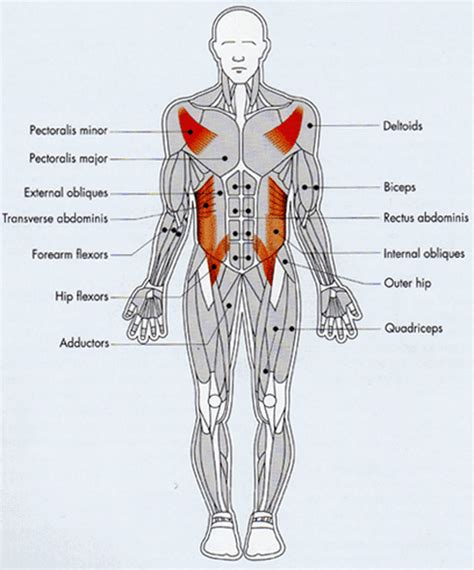diagram of muscular system muscular system anterior and posterior view modernheal