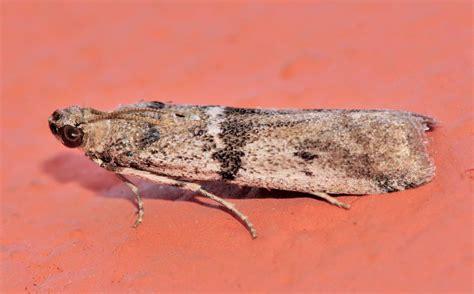 lade per uccelli lepidoptera dell isola di lefkada ephestia welseriella