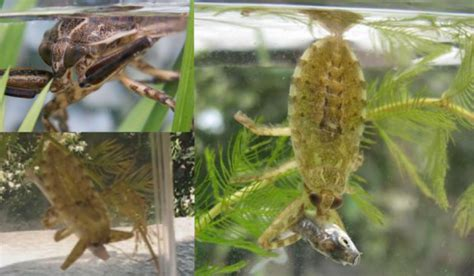 water bugs in house the gallery for gt belostomatidae bite