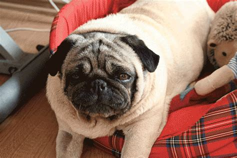 buzzfeed pugs there s going to be a production of quot hamlet quot performed entirely by pugs