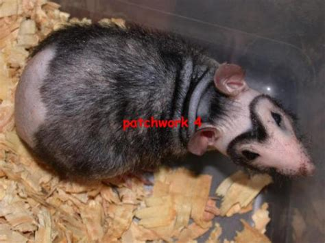 Patchwork Rat - kingsnake comphoto gallery gt feeders gt patchwork rat
