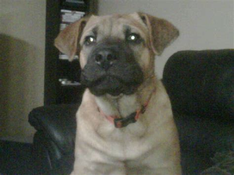 shar pei pug mix schnauzer pug mix pictures breeds picture