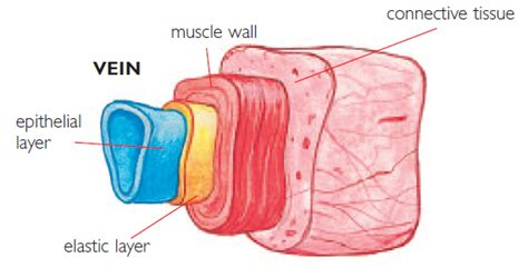 diagram of veins hsc biology syllabus dot point summary maintaining a