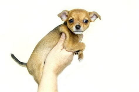 how do small dogs live how do dogs live american kennel club