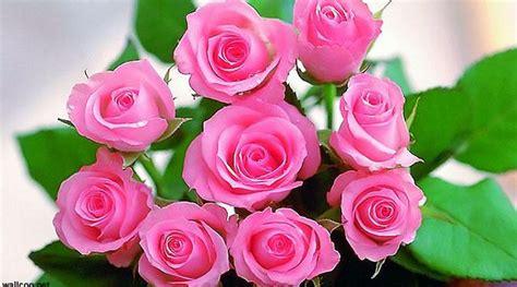 Tanaman Hias Mawar Segala Warna jenis tanaman hias bunga mawar dan manfaatnya daunbuah