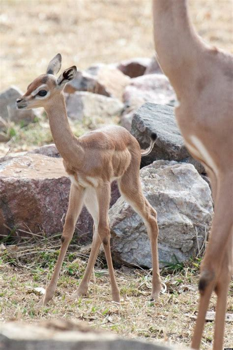 denver zoo    baby gerenuk named blossom