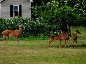 Backyard For Mac File Eastern Whitetail Deer Doe And Three Fawns At