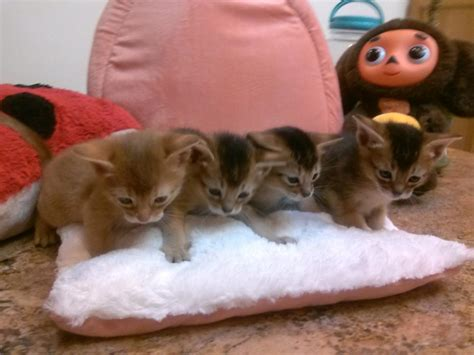 abyssinian kittens for sale abyssinian kittens for sale price about animals