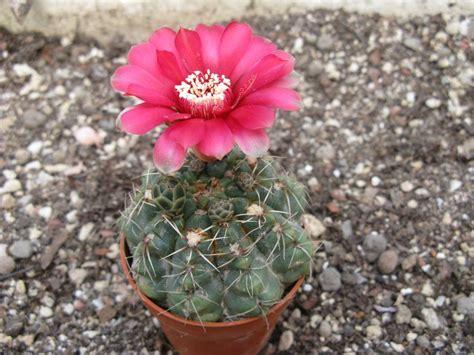 cactus fioriti cactus fiorito