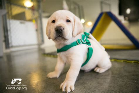 southeastern guide dogs future guide dogs start small to fill big dreams iheartdogs