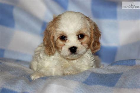 cavachon puppies price cavachon puppy for sale near lancaster pennsylvania cd64d59e fef1