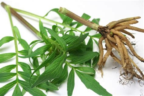 valet meaning in tamil valerian valeriana officinalis or tagar benefits uses