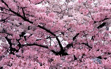 imagenes cerezo japones flor del cerezo japon 233 s hd taringa
