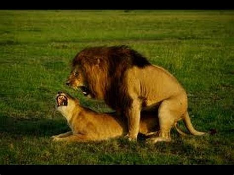 wild lion ganglands national geographic documentary youtube