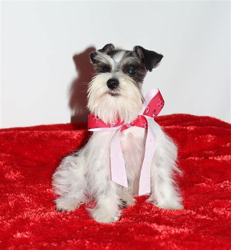 schnauzer puppies oklahoma teacup and miniature schnauzer puppies for sale oklahoma