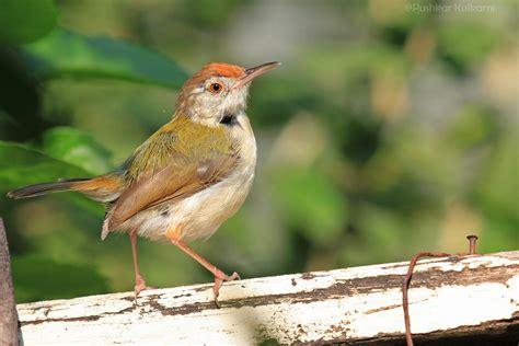 common tailorbird nagpur birds