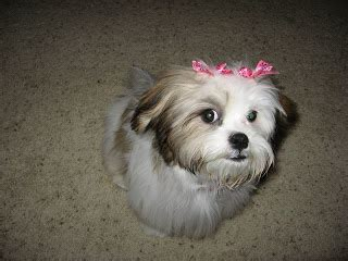 shih tzu mixes list list of shih tzu mixes
