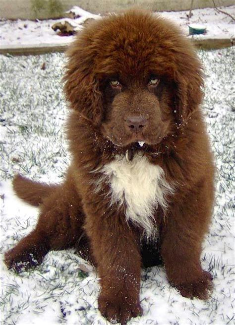 new foundland puppies hershey the newfoundland puppies daily puppy