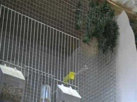 accoppiamento cardellini in gabbia costruzione nido allevamento dell cardellino 09 02 2008