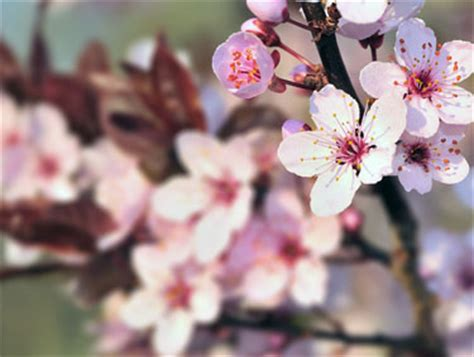 yard and garden: successfully cultivating cherry trees in