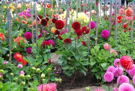 Tanaman Hias Bunga Ruellia Tegak Tanaman Hias Tanaman Ruellia 10 jenis tanaman bunga hias dalam pot