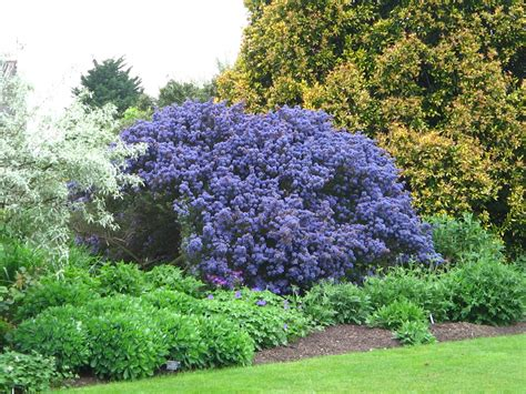 Garden Flowering Shrubs Evergreen Shrubs Search Garden Barns