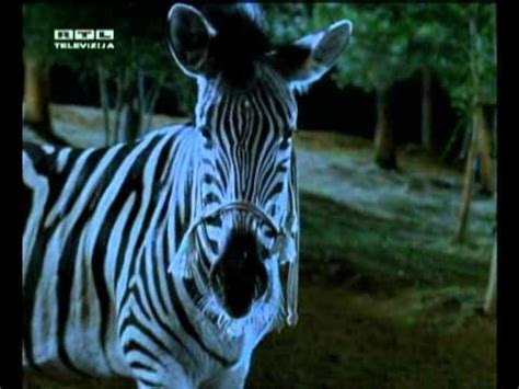 Lu Stop Zebra i can be your baby zebra trkačica racing stripes
