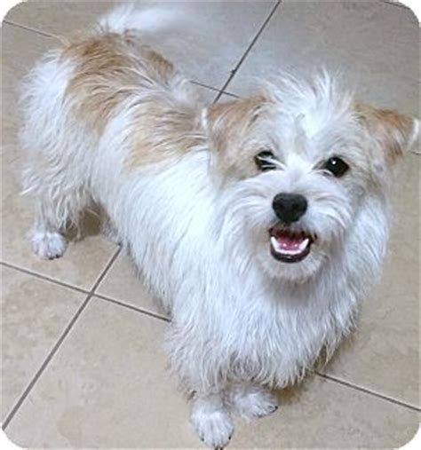 cairn terrier and shih tzu mix wyatt adopted az shih tzu cairn terrier mix