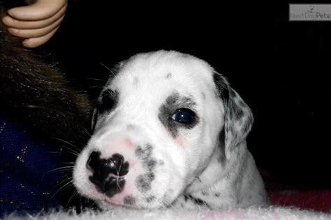 dalmatian puppies near me dalmatian puppy for sale near eastern nc carolina 65fe7907 4d41