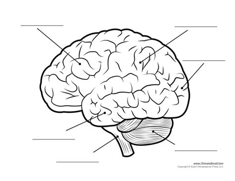 Brain Labeling Worksheet by Human Brain Diagram Labeled Unlabled And Blank