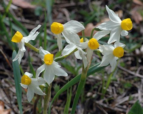 Narcissus Toska toskana marco kl 252 ber