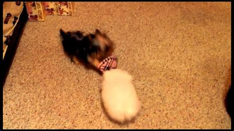 yorkie vs teacup yorkie teacup wars pomeranian vs yorkie so adorable