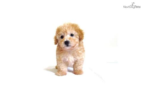 puppies for sale in san diego ca maltipoo puppies for sale san diego ca tiny breeds picture